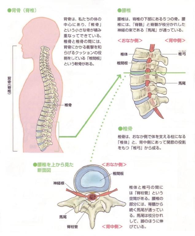 脊椎・腰椎・椎間板の構造